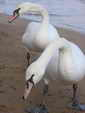 Defile pair of swans on the beach
